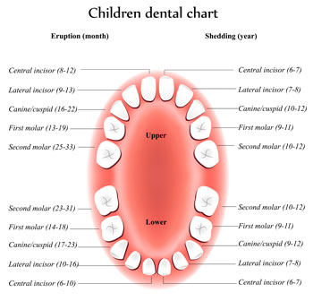 Tooth Eruption Chart - Pediatric Dentist in Lees Summit, MO